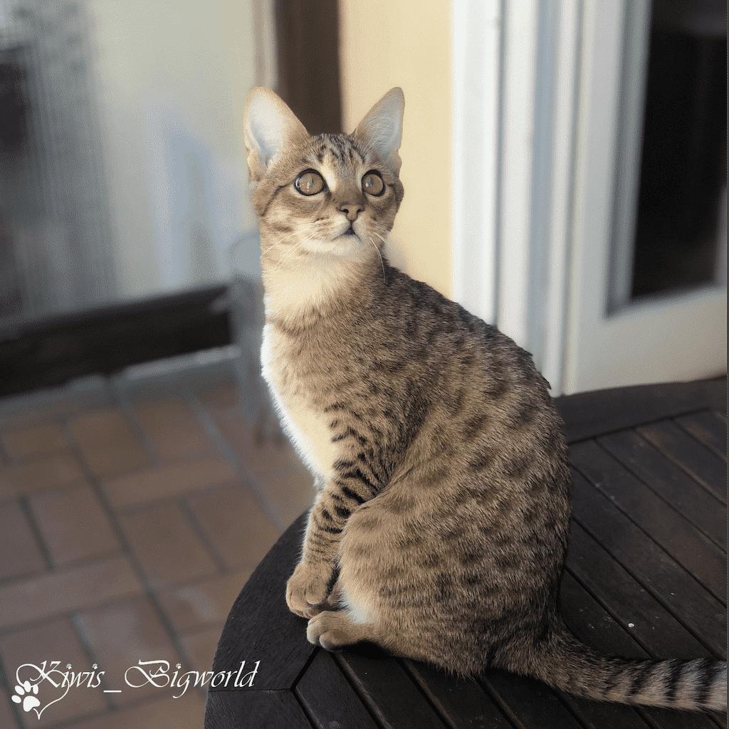 Savannah-Katze der Stufe F4